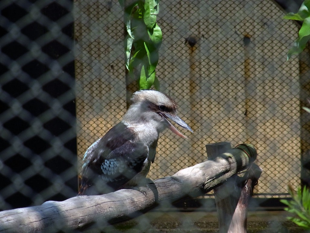 laughing_kookaburra01